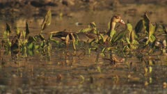 Egyptian Geese and Gosling's in reeds