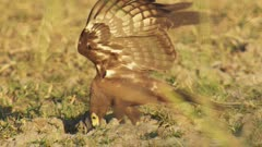Bird of Prey hunting, possibly a juvenile African Harrier Hawk