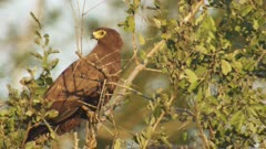 Bird of Prey perched in a tree, possibly a juvenile African Harrier Hawk