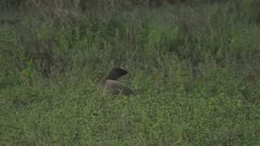 Mongoose, possibly Egyptian Mongoose, walking through the grass