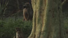 Baboons, possibly Yellow Baboons, lounging by tree and ant hill