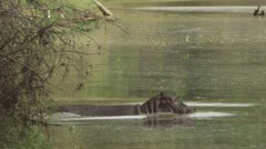 Hippo entering river, descends beneath water's surface