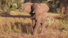 African Elephants in a tree clearing, grazing; one elephant walks toward the camera