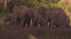African Elephants in a tree clearing, grazing