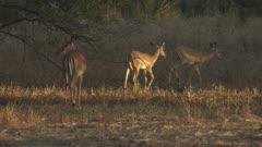 Herd of Impala walking and grazing