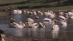 Great White Pelicans and Marabou Storks in a river
