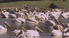 Great White Pelicans swimming in a river
