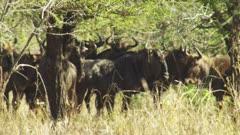 Herd of Blue Wildebeest in thick bush