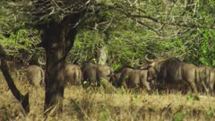Herd of Blue Wildebeest traveling through the thick bush