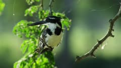 Pied Kingfisher perched on a tree branch