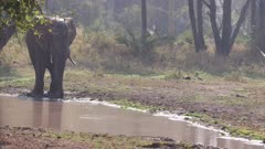 Elephant drinking from a stream in a dense forest