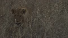 Pride of African Lions walking through long grass, cub with large wound on abdomen