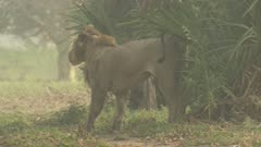 Collared African Lion walking away down track marks territory by urinating on a palm
