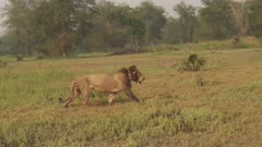 Collared African Lion drinking from stream stands and walks away