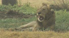 Collared African Lion laying down, licks chops