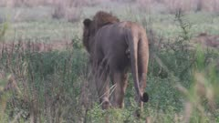Collared African Lion patrolling territory