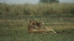 Two African lionesses laying on floodplain, licking each other