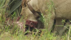African Lion pride eating an Antelope carcass