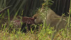 African Lion feeding on Antelope carcass