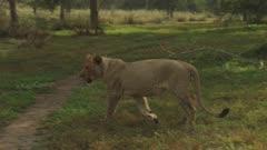 African Lionness prowling through the savanna after feeding on a Warthog carcass