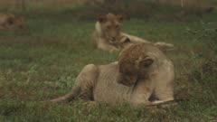 African Lion cub playing with a plam leaf stops to groom