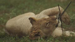 African Lion cub stops grooming to play with a palm leaf