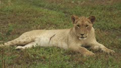 African Lion cub with large wound in abdomen resting on the grass