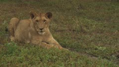 African Lion cub resting on the grass yawns