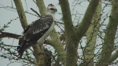 African Crowned Eagle perched in a tree