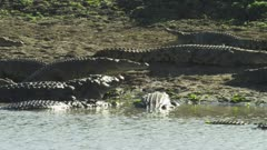 Nile Crocodiles basking on a riverbank
