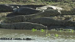 Nile Crocodiles basking on a riverbank; one crocodile swims in the river