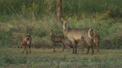 Waterbuck grazing with three calves