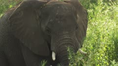 African Elephant grazing in a tree clearing