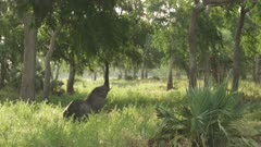 African Elephant walking in a tree clearing, browsing