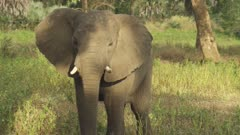 African Elephant walking through a tree clearing toward camera, displaying some aggressive behaviour
