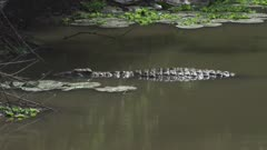 Nile Crocodile swimming in river