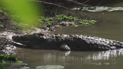 Nile Crocodiles swimming in river and basking on riverbank