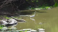 Great White Egret wading in river near basking Nile Crocodiles