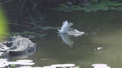 Great White Egret hunting in river near basking Nile Crocodiles; unsuccessfully tries to capture a fish