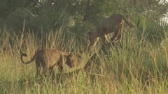 Lion cubs playing near an Ant mound