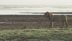 Male Lion surverying waterside