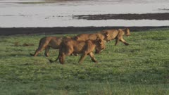 Lion cubs playing near the edge of the waterside