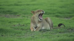 Lioness resting in clearing