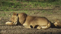 Lioness resting with cubs in the dirt