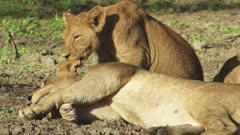 Lioness resting with cubs in the dirt; one cub licks the Lioness on the ear and cuddles with another cub