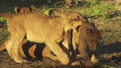 Lion cubs playing in the dirt at the edge of a small swamp