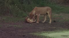 Lioness drinking from swamp