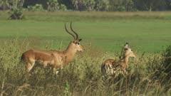 Male Antelope, possibly Impala, running in the grass, following female Antelope