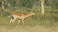 Male Antelope, possibly Impala, running in the grass, vocalizing