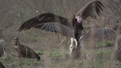 White Headed Vulture, White Backed Vulture and Hooded Vulture in grass